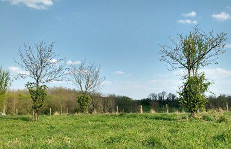 Stamscheuten als natuurlijke boomkorf.