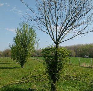 Vooraan het resultaat van ingevlochten stamscheuten als natuurlijke boomkorf, op de achtergrond een nog niet beheerde pruim.